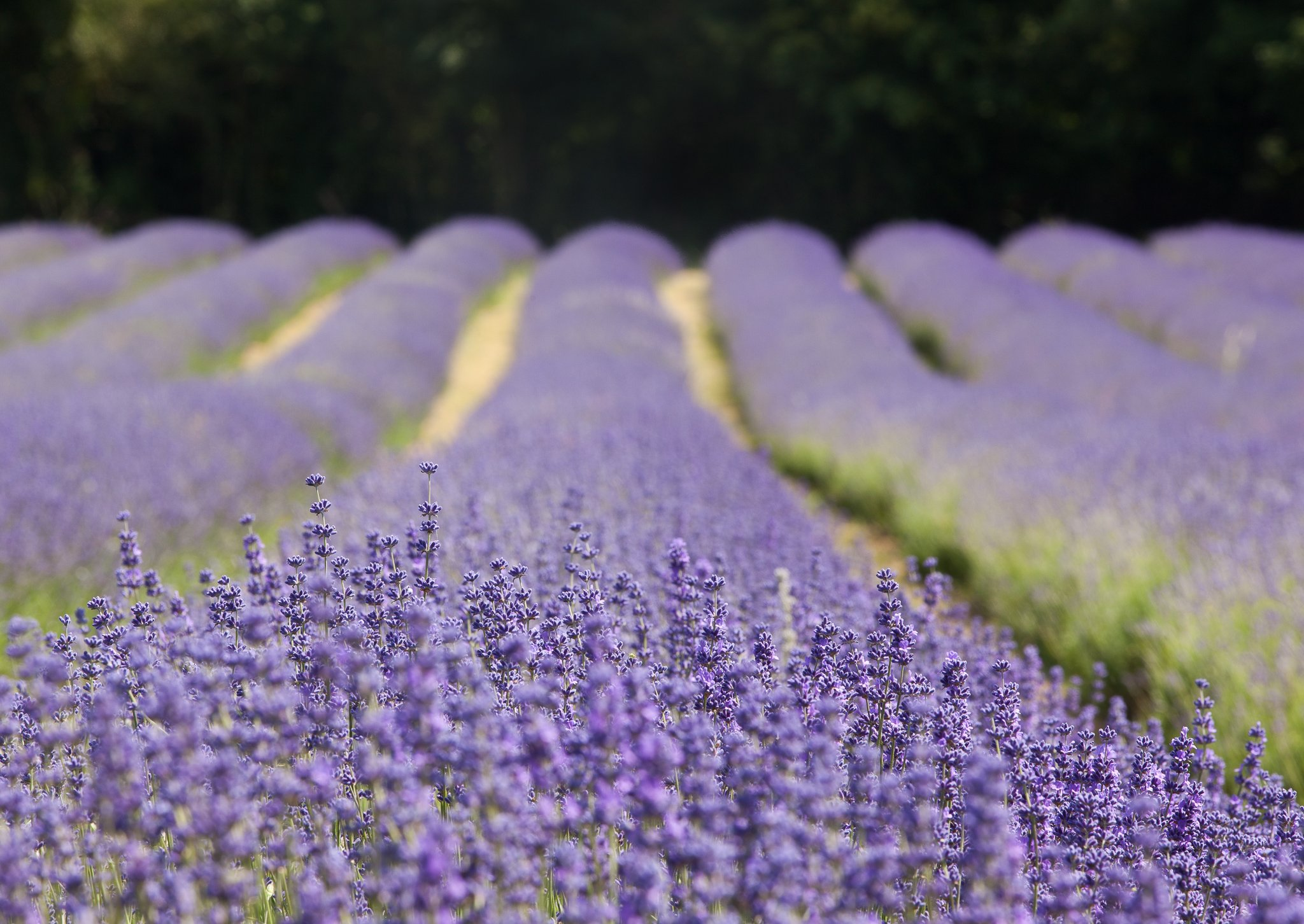 lavender-field-by-augustin-galatanu