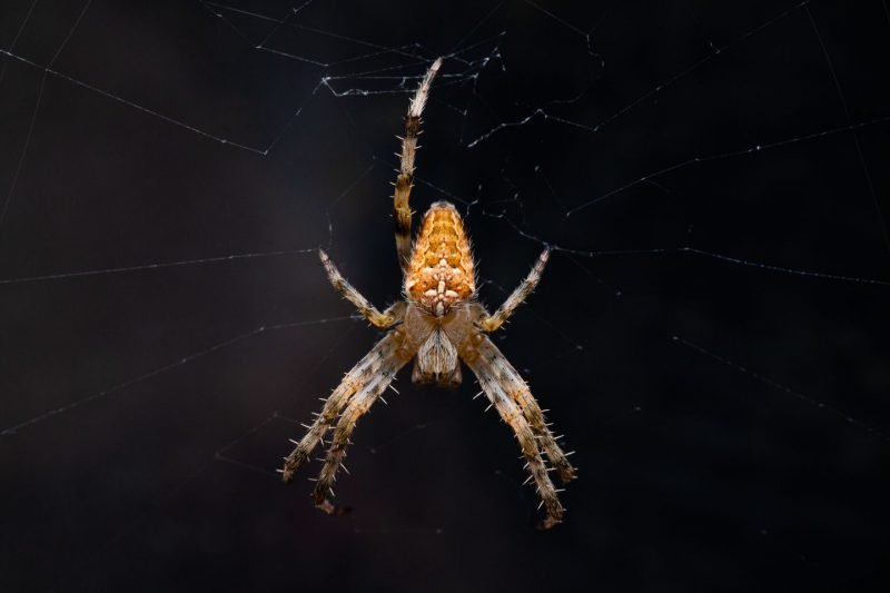 Garden spider with a white cross on its back