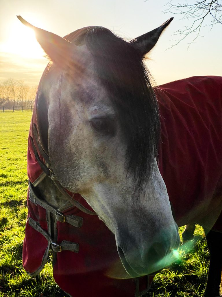 grey-horse-in-thorndon-country-park